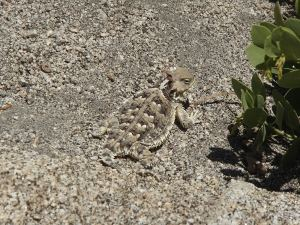 My first of four horned toad sightings. Each had different markings, interestingly enough.